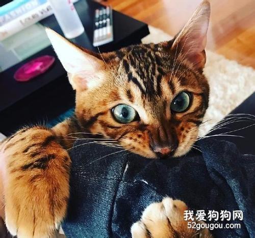 猫咪为什么会皮屑增多_猫咪褐色皮屑_猫咪有点皮屑