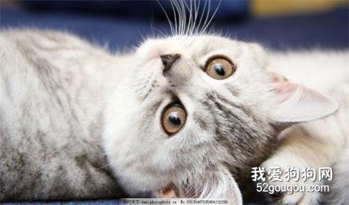 猫咪弓形虫的治疗方法_猫咪弓形虫治疗_人感染猫咪弓形虫怎么治疗