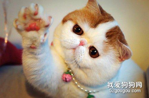 猫咪肠套叠的三大典型症状图片