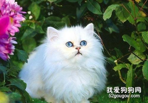 猫整个眼球红色,波斯猫整个眼球红色了