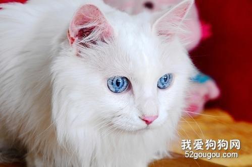如何区分安哥拉猫和山东狮子猫_安哥拉猫和狮子猫区别_安哥拉猫和狮子猫图片对比