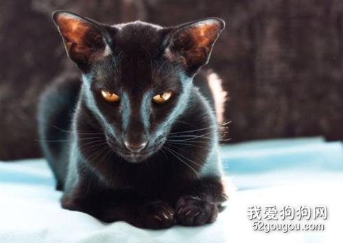 东方短毛猫多少钱一只图片