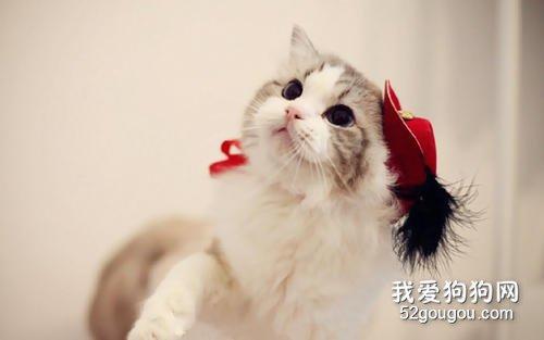 一只纯种的布偶猫要多少钱?如何选正规猫舍?