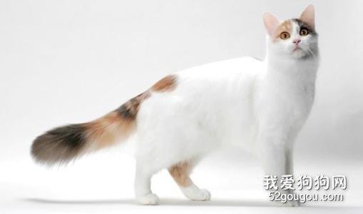 土耳其梵猫图片图片