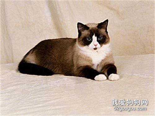 雪鞋猫价格多少_雪鞋猫一只多少钱_雪鞋猫性格