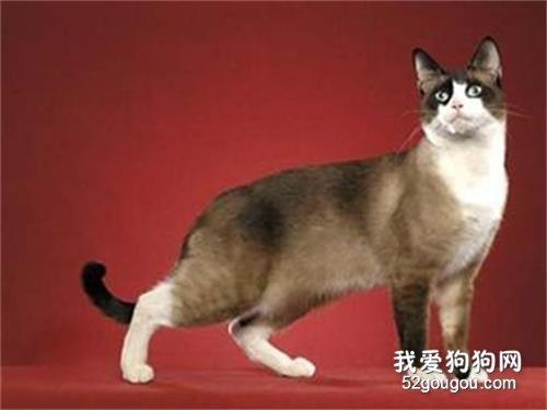 雪鞋猫介绍图片