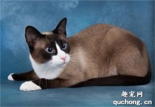 雪鞋猫一只多少钱图片