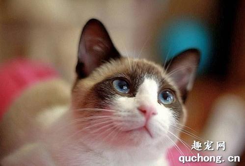 雪鞋猫的特点图片