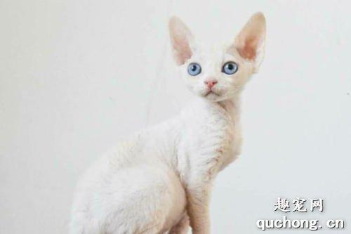 德文卷毛猫什么颜色最贵 德文猫怎么挑选
