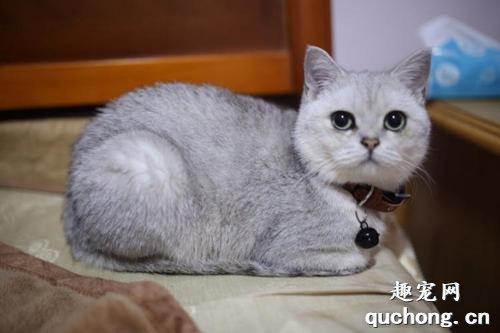 英短蓝猫的优缺点_英短蓝白猫的优缺点_英短折耳蓝猫的优缺点