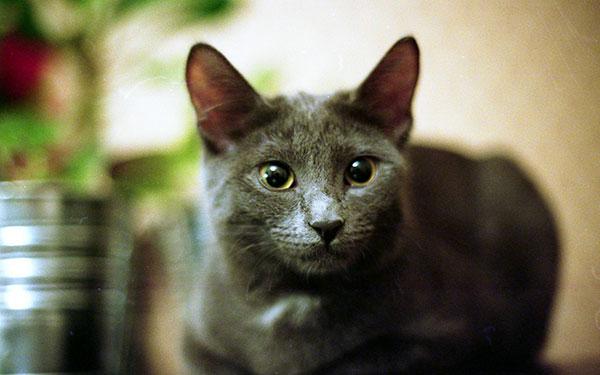 孟买猫价格_孟买猫_趣宠网